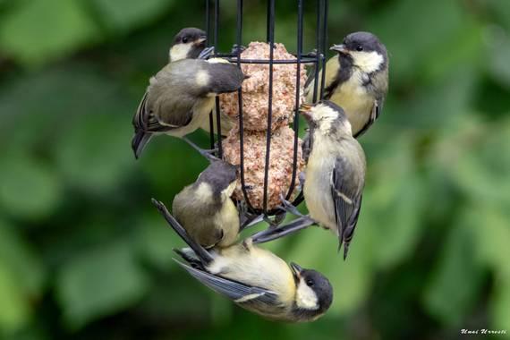 Unai Urresti en Hamelin: Fauna  (Trucios), Parus major Linnaeus, 1758, Familia de Carbonero común comiendo.  #aves21 #carbonerocomun #fauna