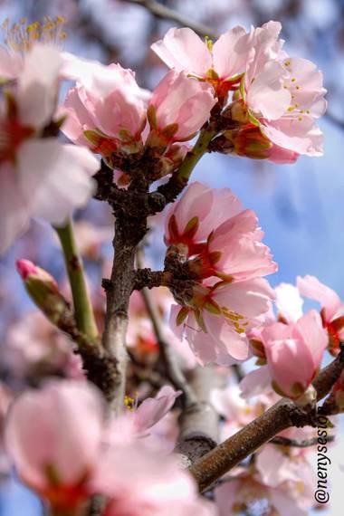 Piluki1982 en Hamelin: Flora  (Valdelaguna), Prunus dulcis
