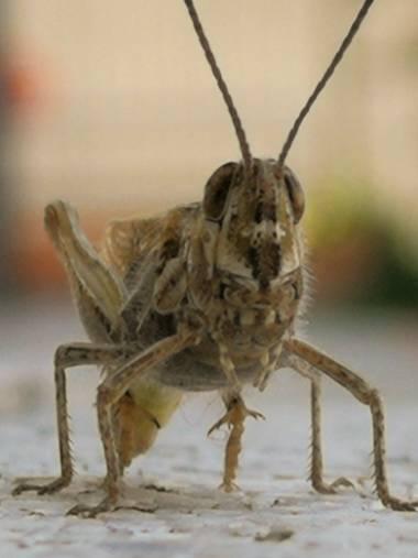 Creandoaficiones en Hamelin: Fauna, Saltamontes