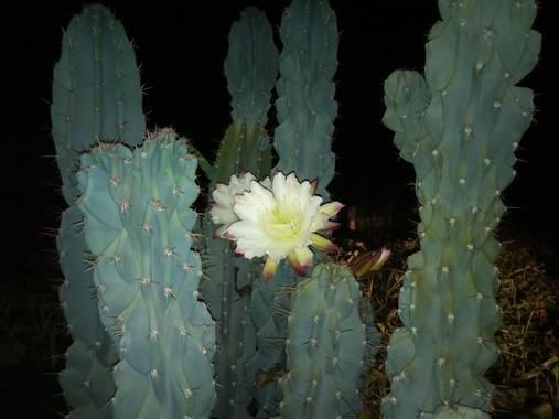 Juani✨ en Hamelin: Flora  (Victoria), Cactus Candelabro #cactusargentina
