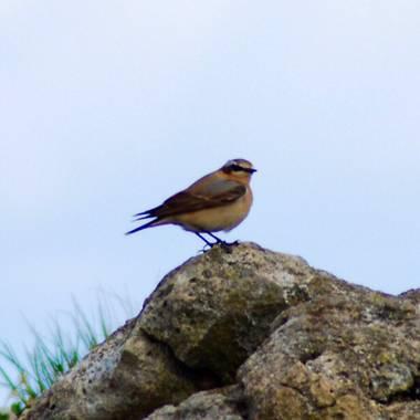 Adrian en Hamelin: Fauna  (Miengo), Collalba Norteña (Oenanthe oenanthe) Con a penas unos 25g de peso estos pájaros completan algunas de las mayores rutas ...