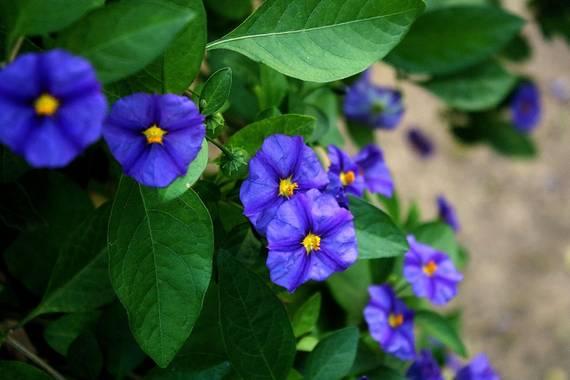 Elemai en Hamelin: Flora, Lycianthes rantonnetii, #otoño #otoño2020#solanum rantonnetti #dulcámara #lycianthesrantonnetii #arbusto #floresvioletas