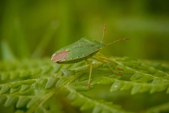 Eritz.cortazar en Hamelin: Fauna  (Bilbao), Palomena prasina (Linnaeus, 1761), Chinche de escudo verde 🐞   Como su nombre sugiere tiene forma de escudo.Al...