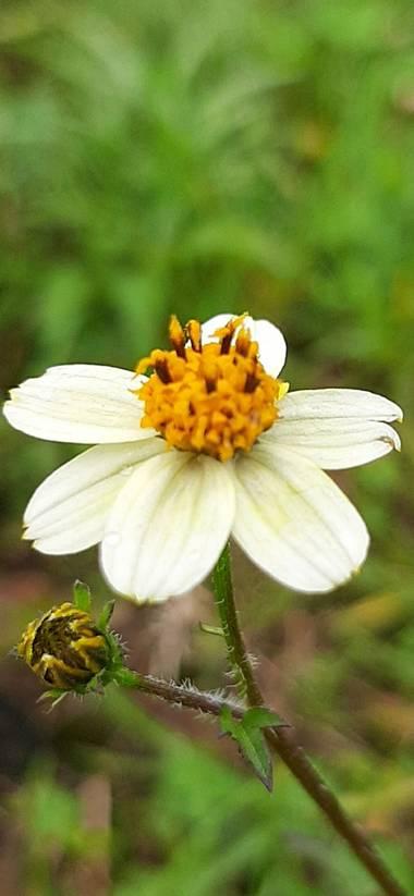 Ivancaicedo11 en Hamelin: Flora  (Bogotá, D.C.), #pequeña flor