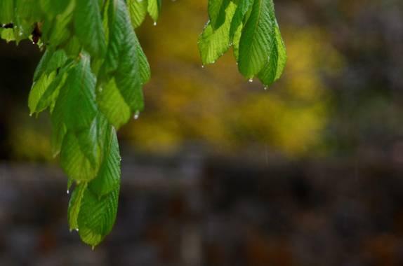 Azulmarino  en Hamelin: Flora  (Toses), Falso castaño #frommypointofview #hojas #castano #naturaleza #primavera
