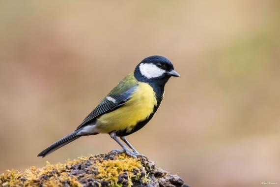 Unai Urresti en Hamelin: Fauna  (Trucios), Parus major Linnaeus, 1758, Carbonero comun.  #aves21 #carbonerocomun   #fauna