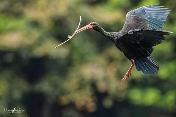 sinisterra2009 en Hamelin: Fauna  (Cali), Phimosus infuscatus (Lichtenstein, 1823), Ibis afeitado, coquito, ibis de cara roja o cuervo de pantano de cara ...
