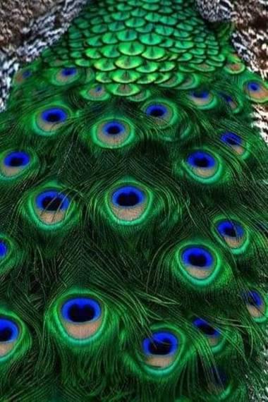 Diana Rosa en Hamelin: Fauna, Pluma de pavo