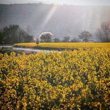 Iruneangel en Hamelin: Flora  (San Millán), Brassica napus, #flora21