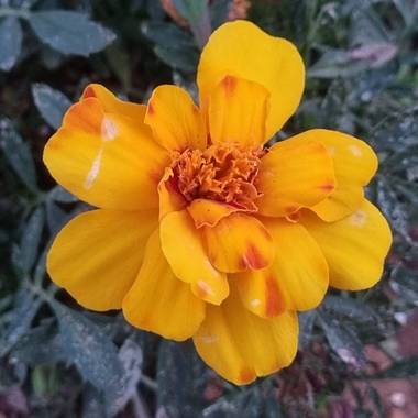 Jonathanmartinbedia0007 en Hamelin: Flora, Tagetes patula, 📸@