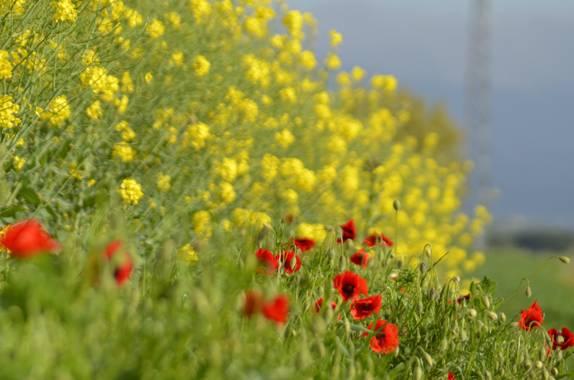 Azulmarino  en Hamelin: Flora, Rojo y amarillo #frommypointofview #colza #amapola