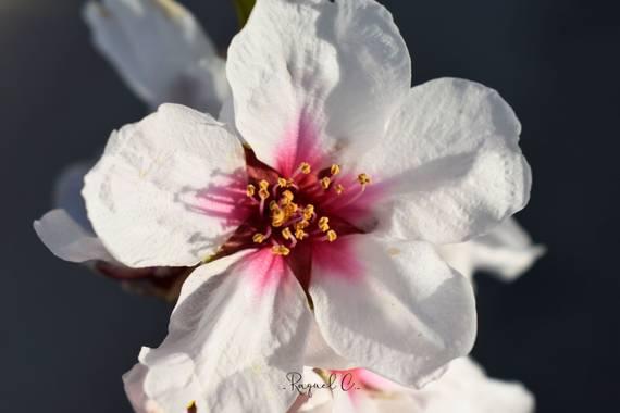 Rakel.536 en Hamelin: Flora, Prunus dulcis, #hamelinmacro #flora #almendrosenflor