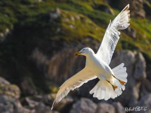 Rafeel FG en Hamelin: Fauna  (Miengo), Larus michahellis J.F.Naumann, 1840, #aves21 #naturaleza_cantabria #nature_shooters