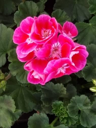 Jonathanmartinbedia0007 en Hamelin: Flora, Pelargonium zonale, 📸@