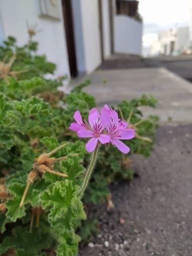 yaizaacostahernandez en Hamelin: Flora  (San Bartolomé)