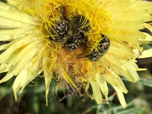Naturalezadebarrio en Hamelin: Fauna  (El Vendrell), #polinizacion #encadaventanaunaflor #naturalezadebarrio#insectosenpelgrodeextincion@naturalezadebarrio