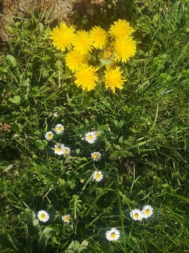 caluateq123 en Hamelin: Flora  (Sainte-Marie-aux-Mines), Convinacion de flores.