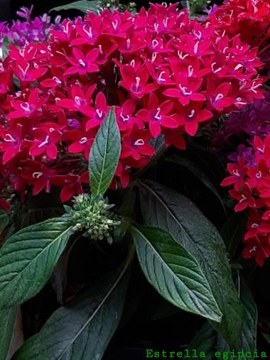 Mpinfante en Hamelin: Flora, Pentas lanceolata, N