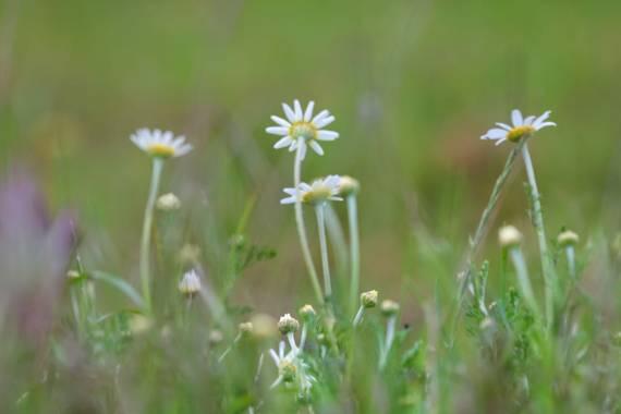 Nani en Hamelin: Flora  (Serradilla del Arroyo), Flora Margarita