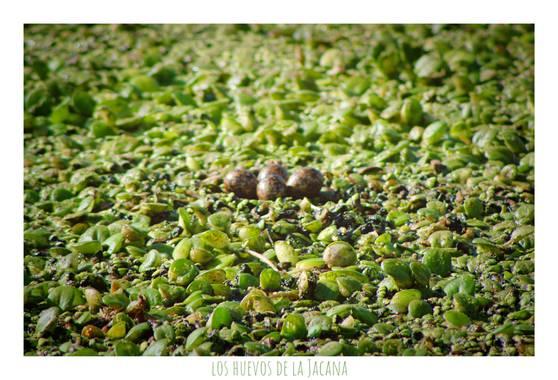 silviosarco en Hamelin: Fauna  (General Viamonte), Nido de Jacana sobe lentejas de agua, a nivel del agua.