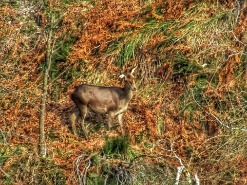 mariale en Hamelin: Fauna, Cervus elaphus #Asturias  Ciervos, venados 💚