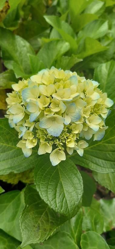 Ivancaicedo11 en Hamelin: Flora  (Bogotá, D.C.), Hydrangea macrophylla, #flora 21