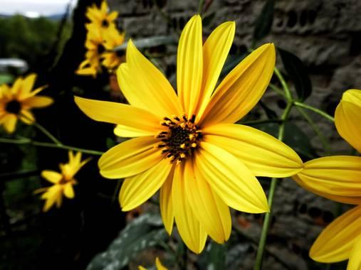 Mivilor68 en Hamelin: Flora  (Ponferrada), #floresamarillas