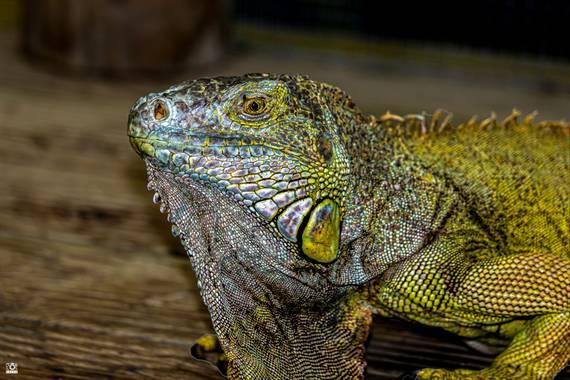 Acorazado3000 en Hamelin: Fauna  (Benalmádena), Iguana, recuerdos prehistoricos       #fotografiacarloscalvo #saurópsidos #iguana #reptil #reptiles #mascot...