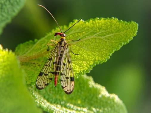 Eritz.cortazar en Hamelin: Fauna  (Bilbao), Mosca escorpión 🦂  #panorpa #panorpacommunis #communis #mosca #fly #escorpion #insect #insecto #macro #hamel...