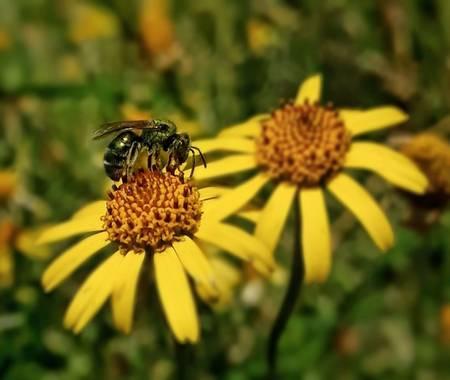 Cr93734 en Hamelin: Fauna, Agapostemon es un género de himenópteros apócritos de la familia Halictidae. Es un grupo de abejas bastante comunes, en general...