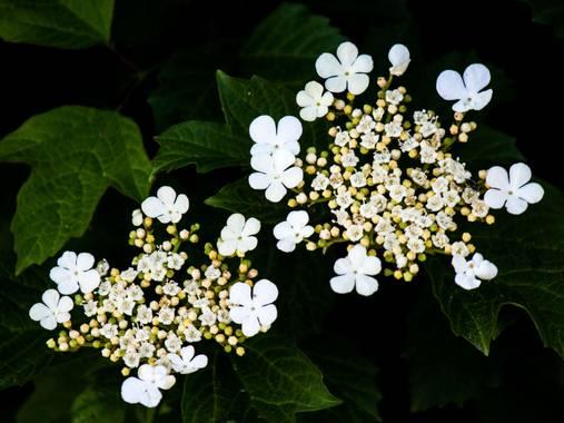 Mistela17 en Hamelin: Flora, Viburnum opulus, #flora21