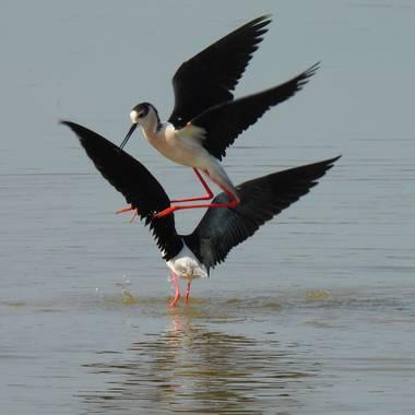 Georginaag en Hamelin: Fauna  (Mieres), Himantopus himantopus (Linnaeus, 1758), #aves #fauna #birds