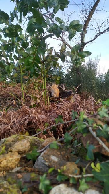 Corisca en Hamelin: Fauna, Felino