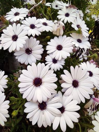 Ulricharrondo en Hamelin: Flora  (Posadas), Osteospermum ecklonis, #flowers #cordobaspain