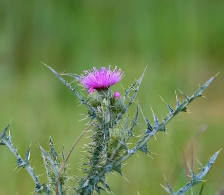 Nani en Hamelin: Flora  (Serradilla del Llano)