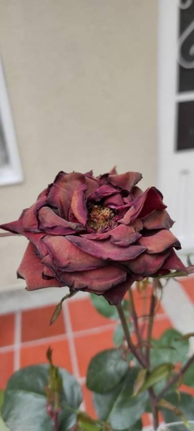 Zaynab en Hamelin: Flora, Marchito