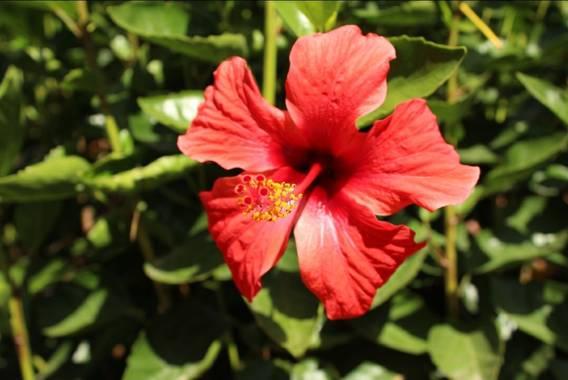 cimadevilla.amaia en Hamelin: Flora, Hibiscus rosa-sinensis, Hermosa flor rosa china