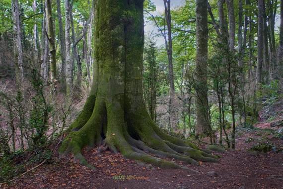 isidorogomez53 en Hamelin: Paisaje  (Sant Pere de Torelló), Bosque de la Grevolosa .  Uno de los bosques  de hayas  más bonitos y  pequeños que te  puedes ...