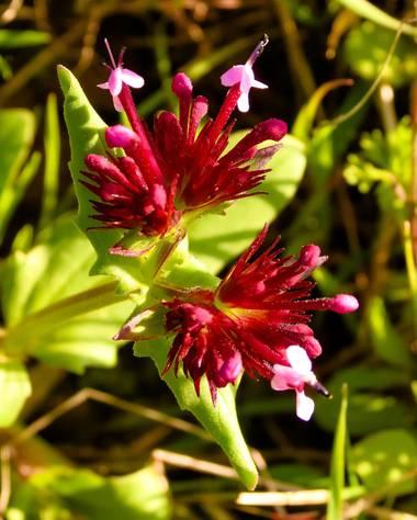 joseasanchezs en Hamelin: Flora  (Zahara), Fedia cornucopiae, Sangre de doncella