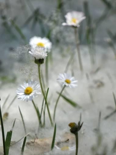 mariale en Hamelin: Flora, 📸 #marialemdza  #chopo #PelusaDeChopo #BellezaNatural #FloresSilvestres Comienzo con fotos de una bonita semana disfrutada por...