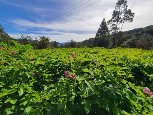 florezcesar92 en Hamelin: Flora  (Cerinza), Cultivo de papa