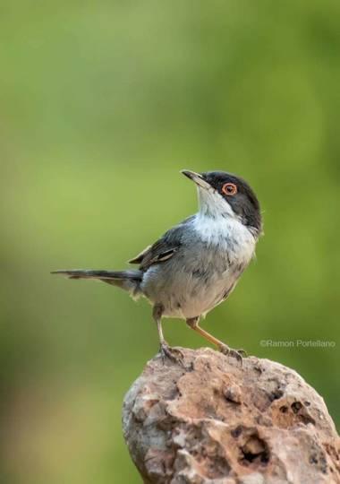 ramonportellano en Hamelin: Fauna  (Benalmádena), Sylvia melanocephala melanocephala, Posando cual modelo profesional #aves21