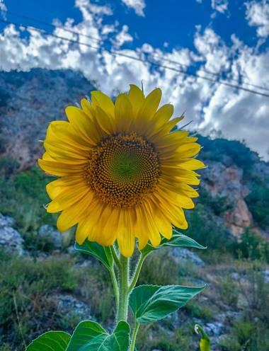 carogv1995 en Hamelin: Flora  (Mula), Helianthus annuus, #flor #girasol  #murciabonita  #murciaquehermosaeres