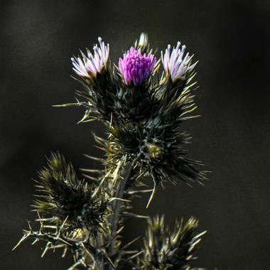 Mistela17 en Hamelin: Flora, Carduus pycnocephalus, #flora21