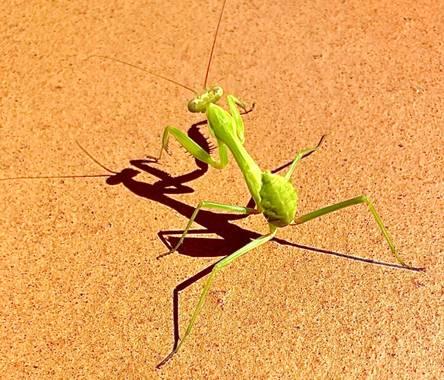 su en Hamelin: Fauna  (Gelves), Un insecto muy interesante