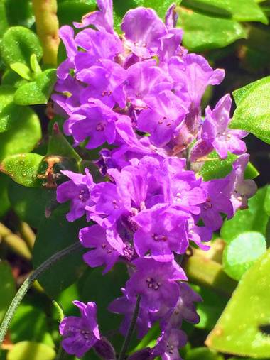 Erikalan9 en Hamelin: Flora  (Sant Cugat del Vallès)