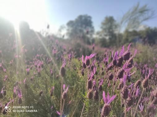 MAYTE LOPEZ en Hamelin: Flora  (Linares), Lavandula stoechas, Colores de Primavera #Flora21