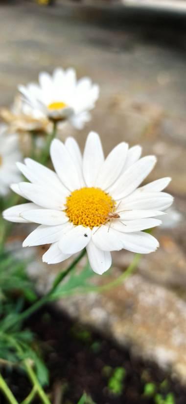 jairoponce1985 en Hamelin: Flora  (Cassà de la Selva), #flower naturaleza
