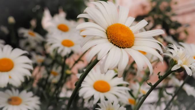 Lidia__lmr38 en Hamelin: Flora  (Zaragoza), Leucanthemum maximum, Un paseo cualquiera...  #flores #margarita #flor #blanco #primavera #pasion_natura #natur...