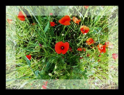 Lola.arlandi en Hamelin: Flora  (Mollet del Vallès), Papaver rhoeas, #floral21